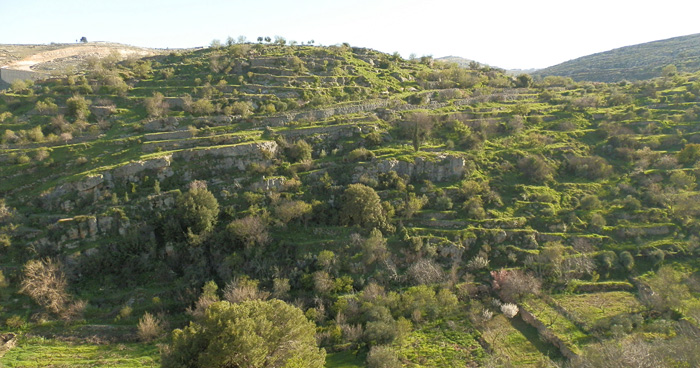 Оливковые рощи, Палестина