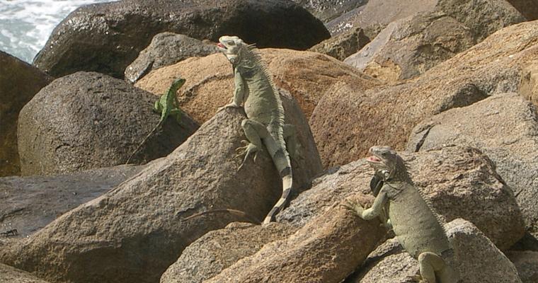 Игуаны, Аруба.
