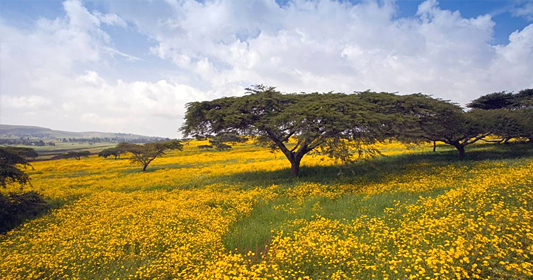 Ромашки, Эфиопия