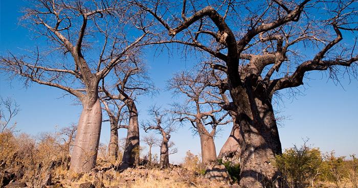 Баобабы, Ботсвана