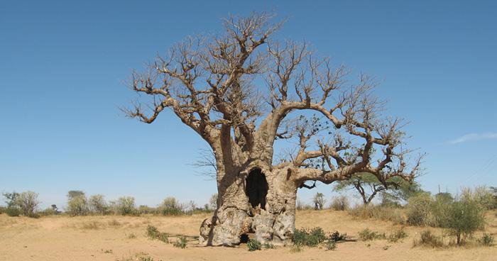 Исторический баобаб, Сенегал