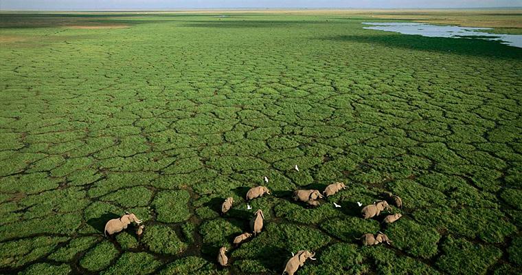 Группа слонов в Национальном парке Амбосели, Кения