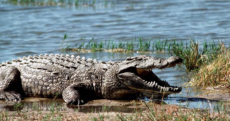 Крокодил, Зимбабве